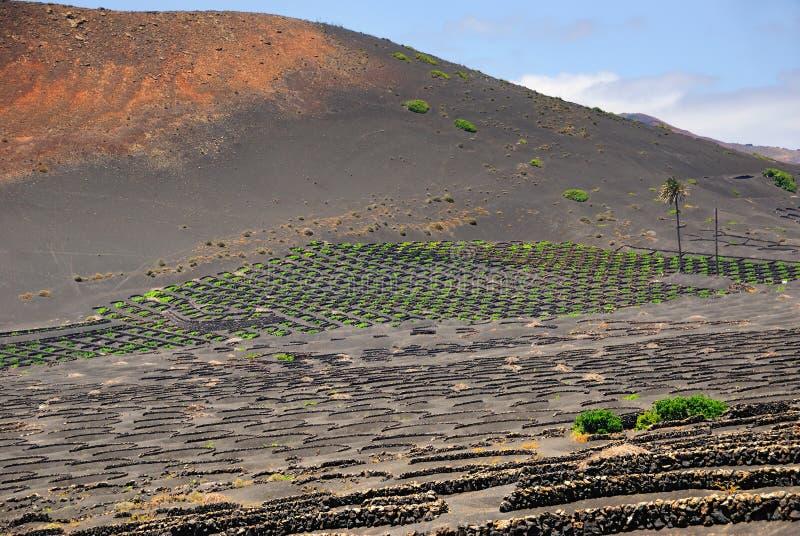 Vinhedo de Lanzarote fotografia de stock royalty free