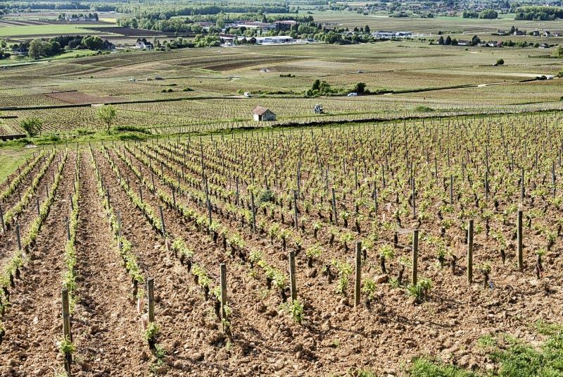 Vinhedo de Le Corton Grande Cru foto de stock royalty free