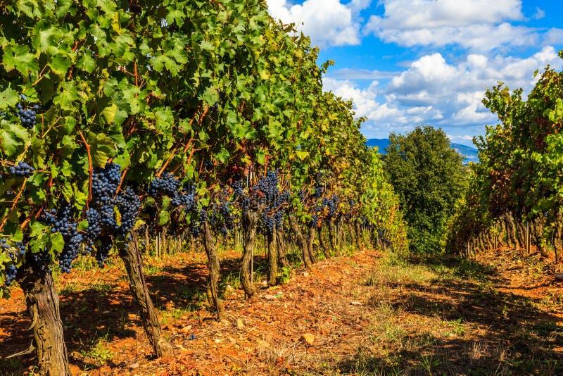 Vinhedo de Tuscan foto de stock royalty free