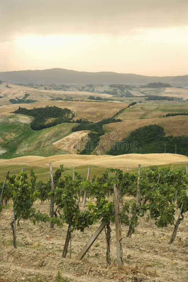 Vinhedo de Tuscan com Rolling Hills. fotos de stock royalty free