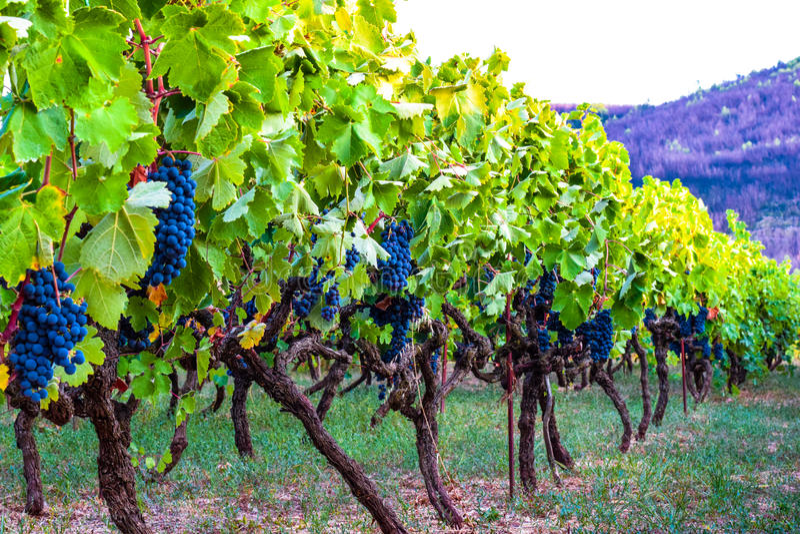 Vinhedo de uvas azuis foto de stock royalty free