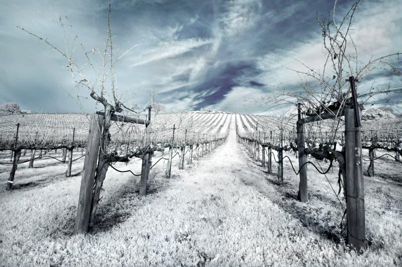 Vinhedo do inverno no infravermelho imagem de stock