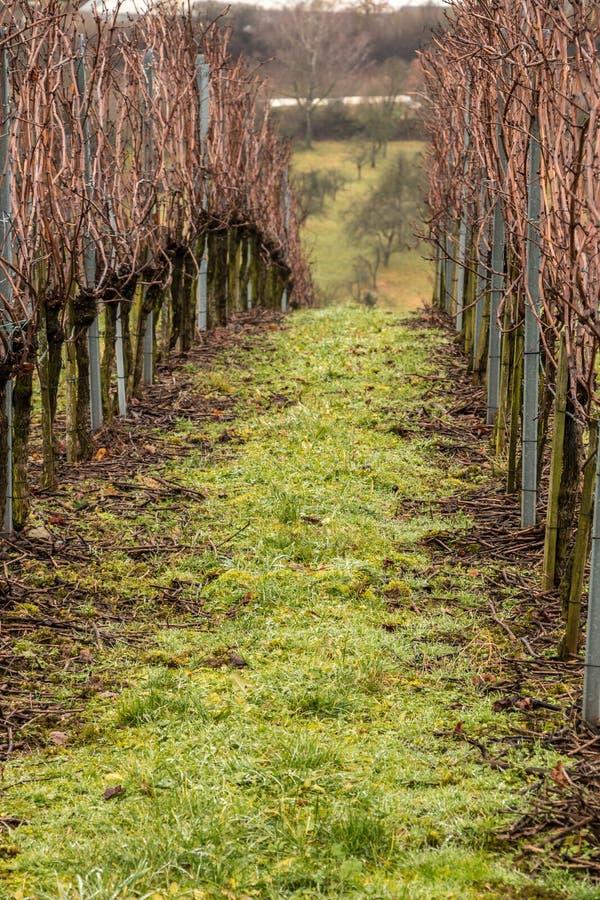 Vinhedo e linhas longas de vinhas fotografia de stock