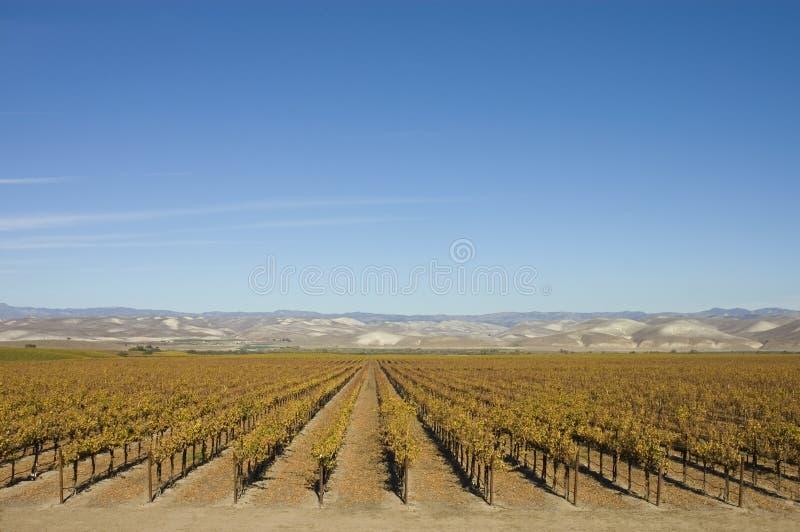 Vinhedo em Califórnia central fotografia de stock royalty free