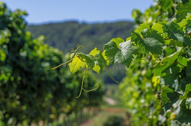 Download Vinhedo Em Rhineland Palatinate Imagem de Stock - Imagem de fileira, recolhimento: 26516773