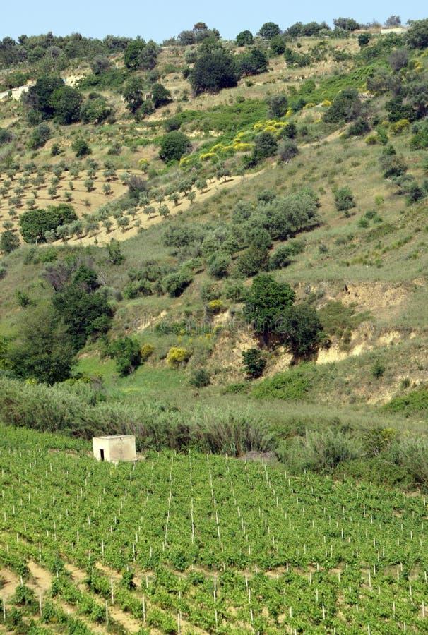 Vinhedo em Sicília   foto de stock