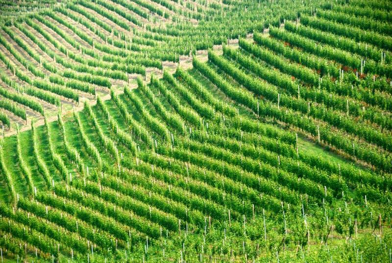 Vinhedo italiano em Piedmont fotos de stock