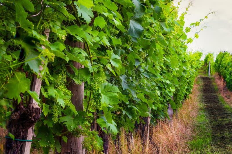 Vinhedo na manhã do verão, vinhas plantadas nas fileiras, Europa fotos de stock royalty free