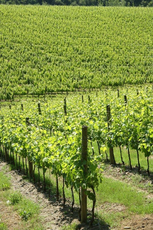 Vinhedo na região do Chianti (Toscânia, Itália) imagem de stock