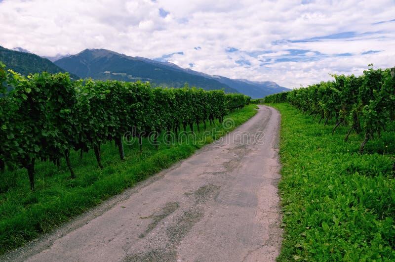 Vinhedo no vale do Reno, Suíça, com as uvas que amadurecem imagens de stock