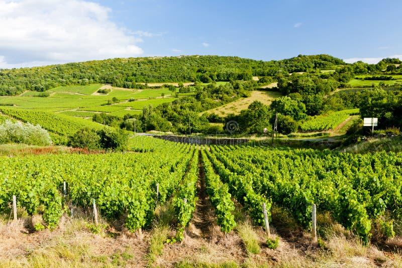 vinhedo perto de Pouilly-Fuisse, Borgonha, França fotos de stock royalty free