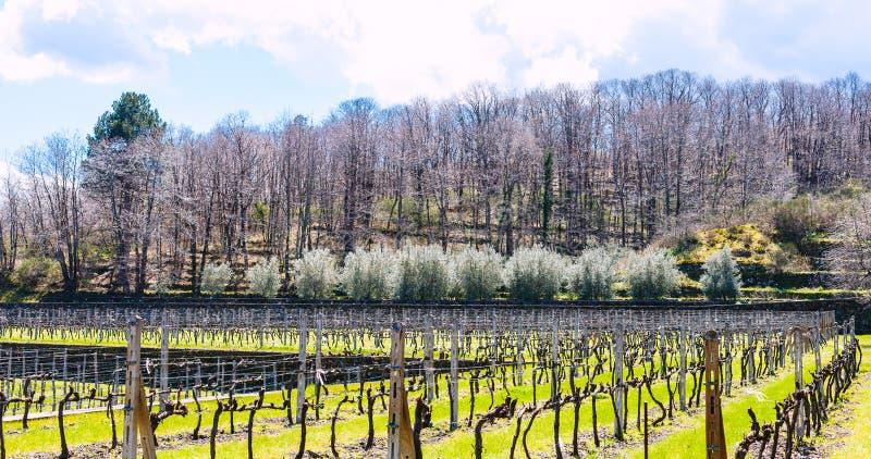 Vinhedo vazio na área do winemaking de Etna na mola imagens de stock royalty free