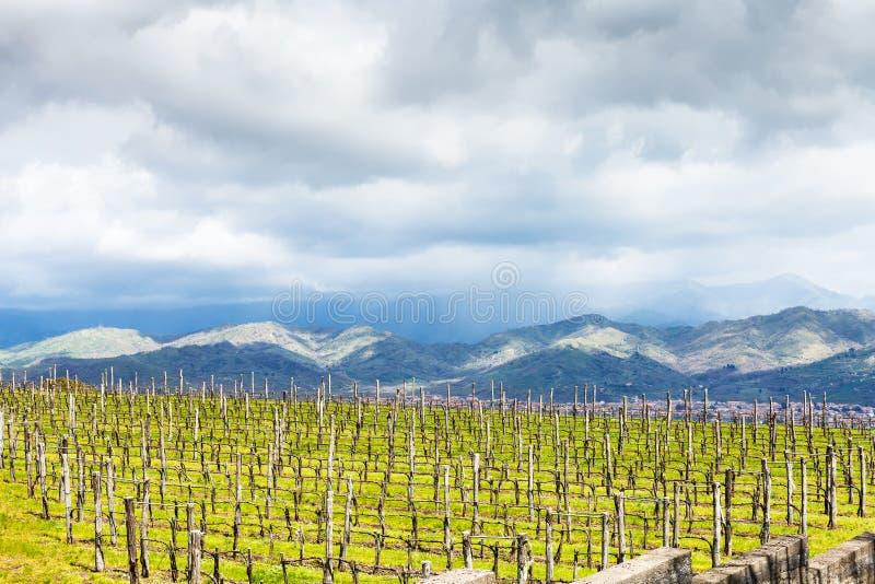 Vinhedo vazio na região de Etna na mola imagens de stock