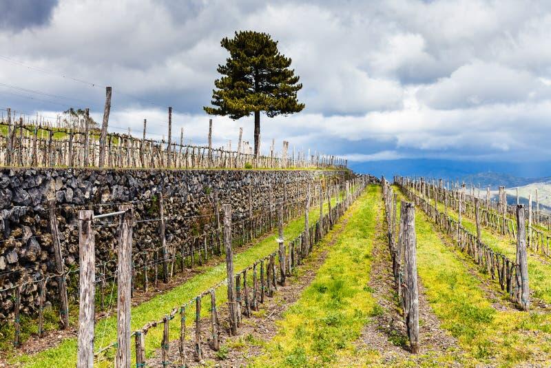 Vinhedo vazio na região do agrarianl de Etna na mola fotos de stock royalty free
