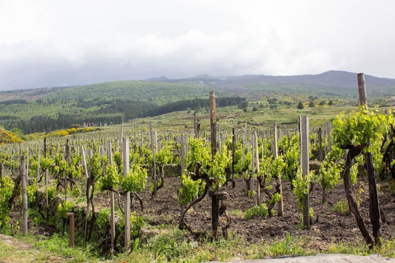 Vinhedo verde em Sicília imagem de stock royalty free