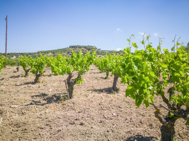 Vinhedos bonitos e de Yong andscape com vinhedos e montanhas no fundo Uvas gregas para o vinho imagens de stock royalty free