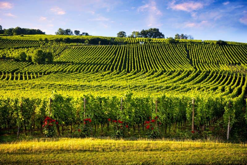 Vinhedos da paisagem da rota do vinho França, Alsácia fotografia de stock
