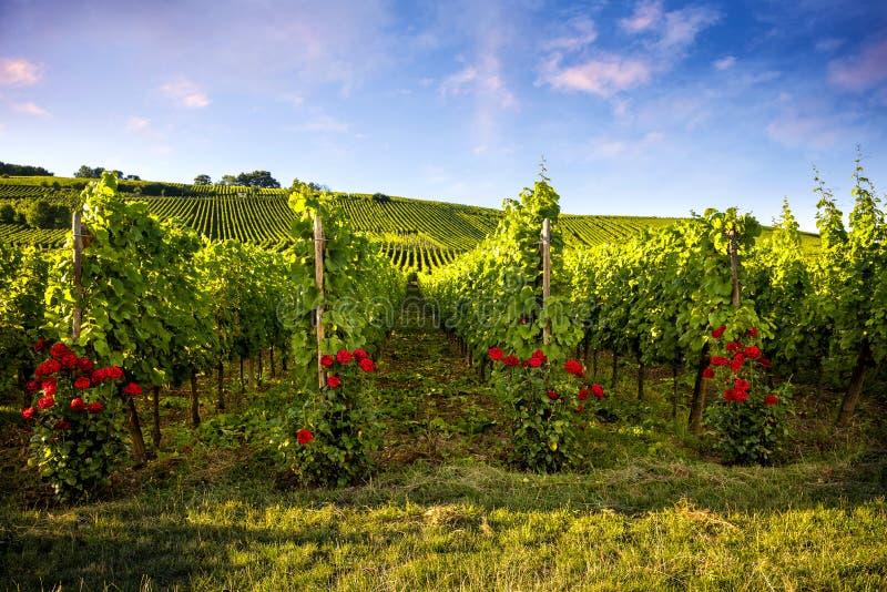 Vinhedos da paisagem da rota do vinho França, Alsácia imagens de stock