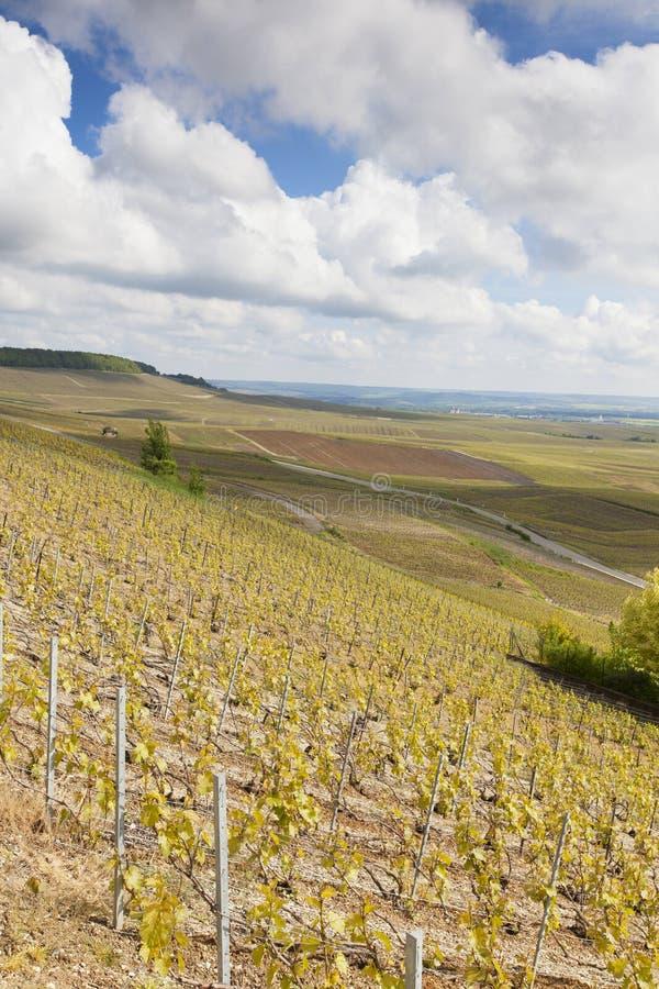 Vinhedos de Avize, região de Champagne fotografia de stock