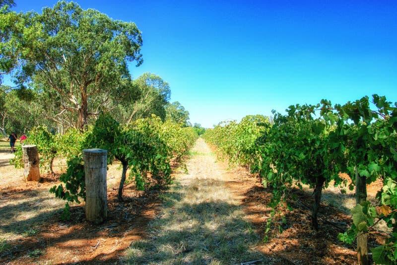 Vinhedos do Barossa Valley no Sul da Austrália fotografia de stock royalty free