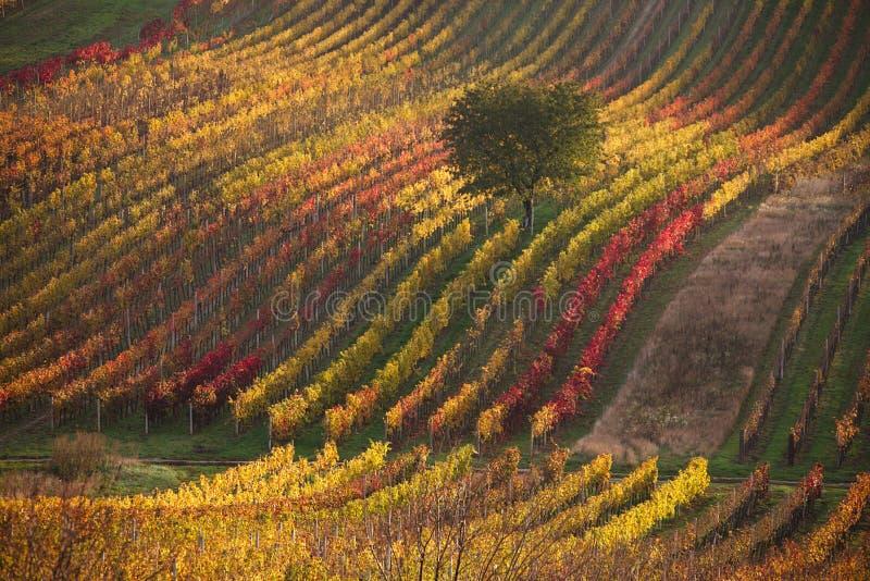 Vinhedos do outono de Moravian imagem de stock royalty free