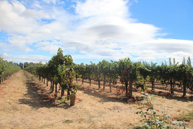 Vinhedos do vinho na área de Napa Valley de Califórnia fotografia de stock royalty free