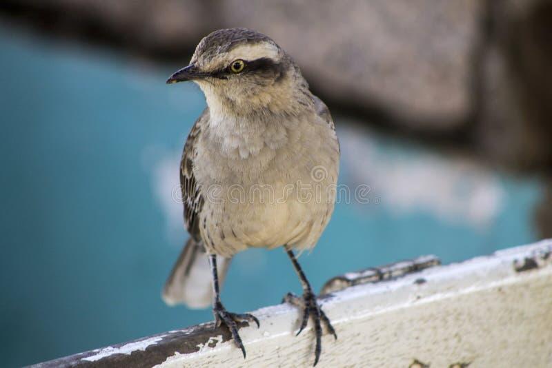 Vinhedos fågel arkivbild