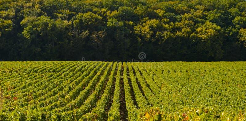 Vinhedos na barra do DES da costa, Aube de Champagne foto de stock royalty free