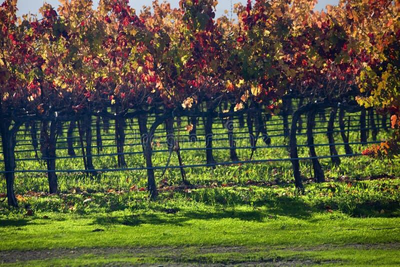 Vinhedos Napa da queda das folhas da videira do vinho vermelho fotografia de stock royalty free