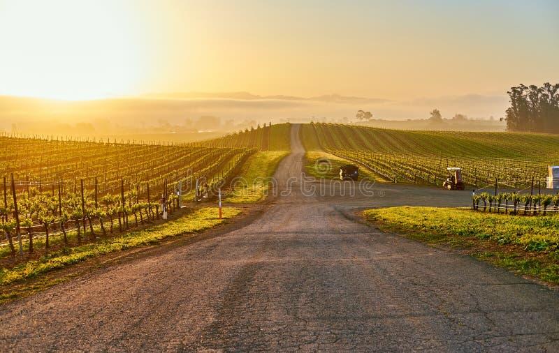 Vinhedos no nascer do sol em Califórnia, EUA foto de stock