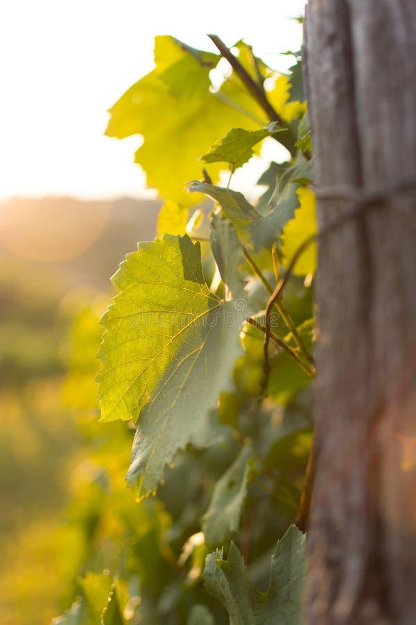 Vinhedos no por do sol em Autumn Harvest Landscape com a uva orgânica em ramos da videira foto de stock royalty free