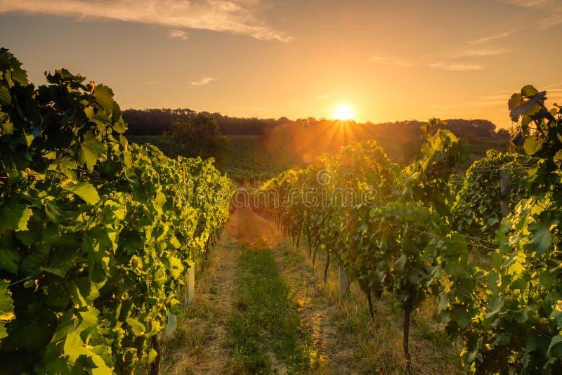 Vinhedos no por do sol, república checa fotos de stock royalty free