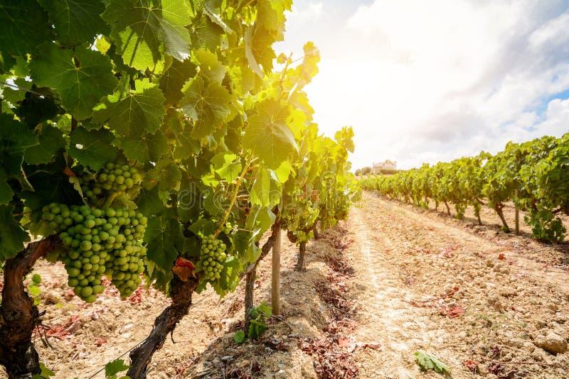 Vinhedos velhos com as uvas do vinho tinto na região do vinho do Alentejo perto de Évora, Portugal fotos de stock