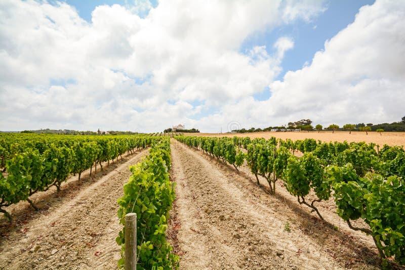 Vinhedos velhos com as uvas do vinho tinto na região do vinho do Alentejo perto de Évora, Portugal imagem de stock