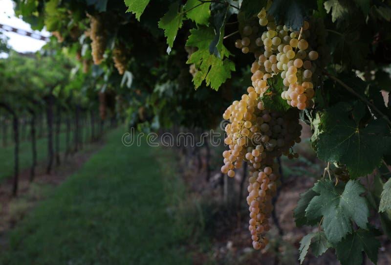 Vinho italiano dos campos das uvas imagens de stock