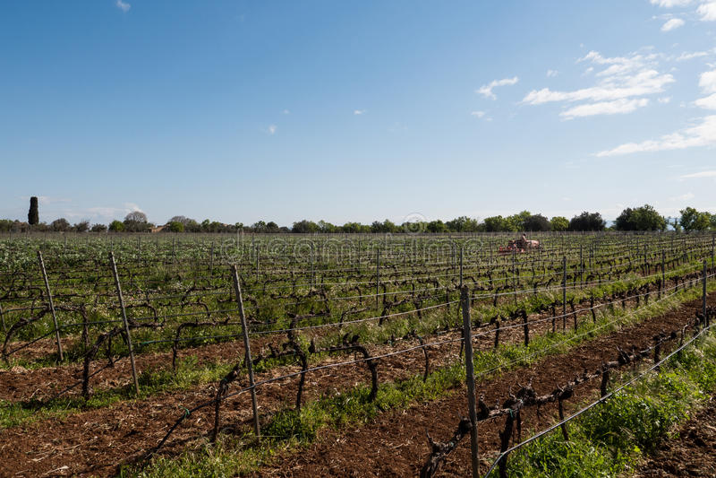 Vinho italiano dos campos do vinhedo foto de stock royalty free