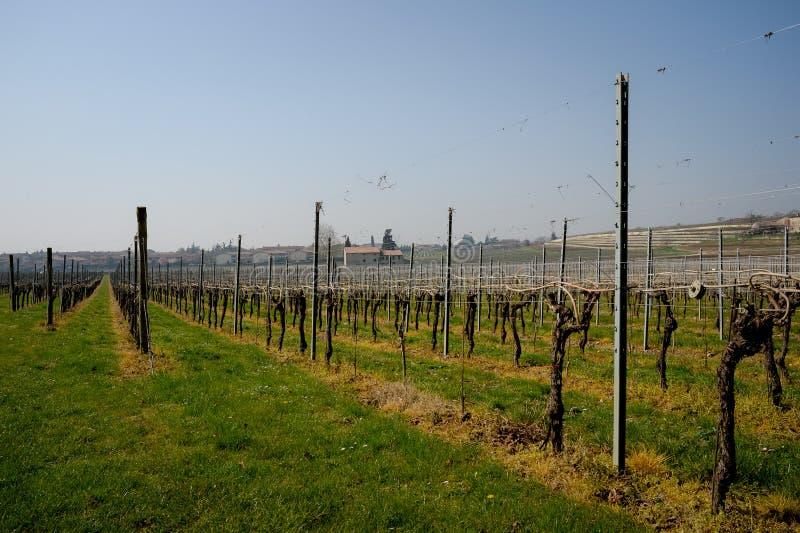 Vinho italiano dos campos do vinhedo foto de stock