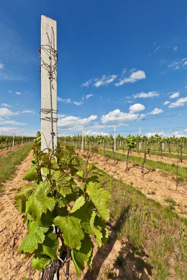 Vinhos da uva com no vinhedo fotografia de stock
