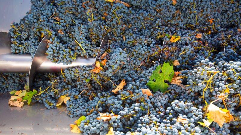 Vinification de destemmer de broyeur de tire-bouchon avec des raisins photos stock