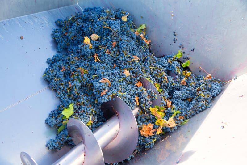 Vinification de destemmer de broyeur de tire-bouchon avec des raisins photographie stock