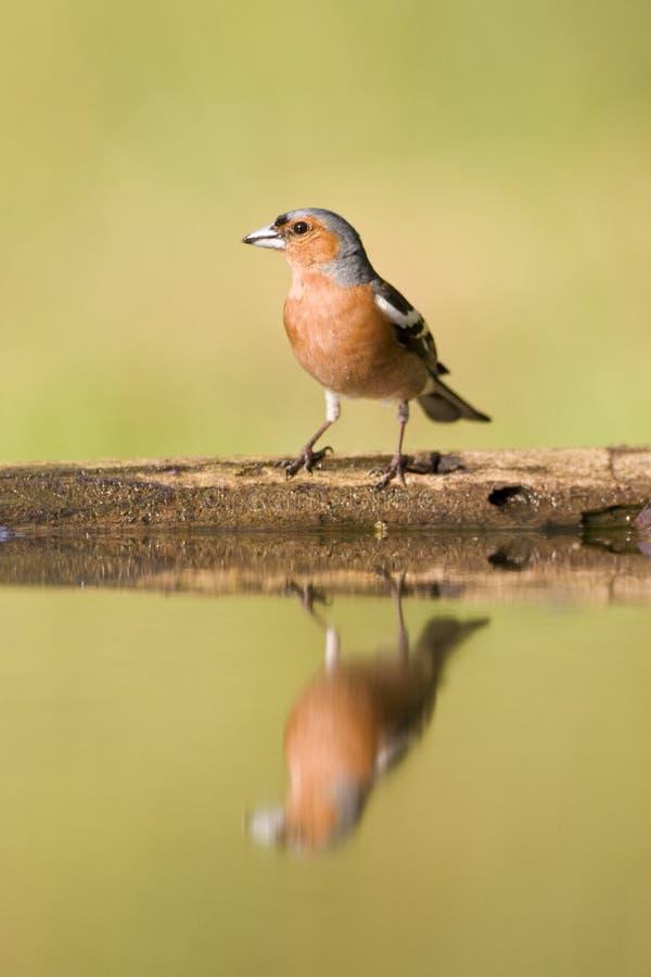 Vink gemensam bofink, Fringillacoelebs royaltyfri bild