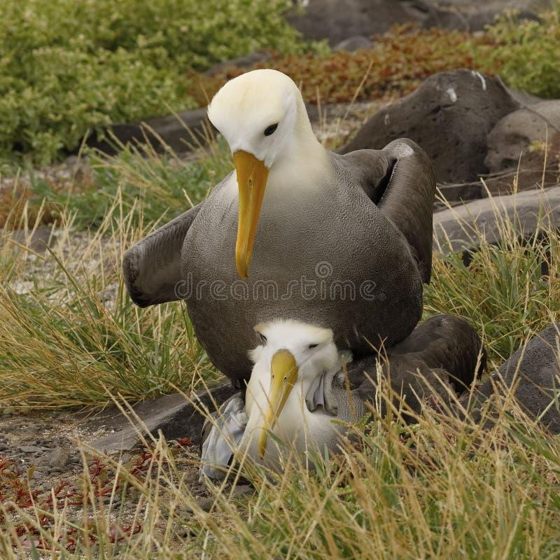 Vinkade albatrossar som kopulerar - Galapagos öar royaltyfri fotografi