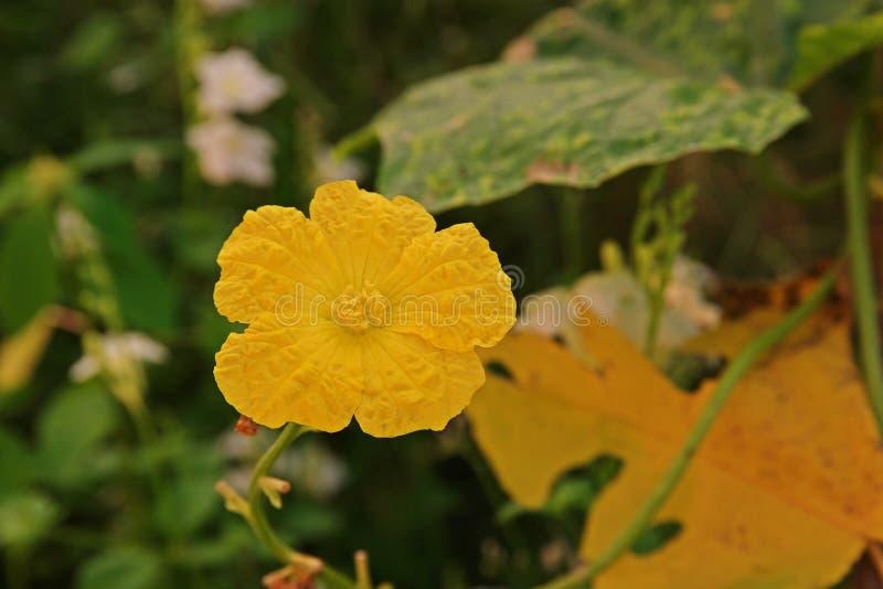 Vinkeltropisk och subtropisk vinrankagrönsak för luffasvamp, i gurkafamiljen royaltyfri fotografi