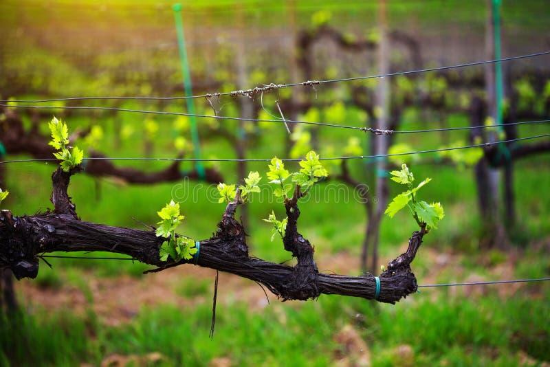 vino obrazy royalty free