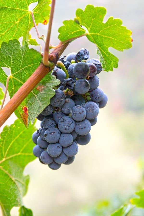 Vino azul de maduración de la uva en rama foto de archivo