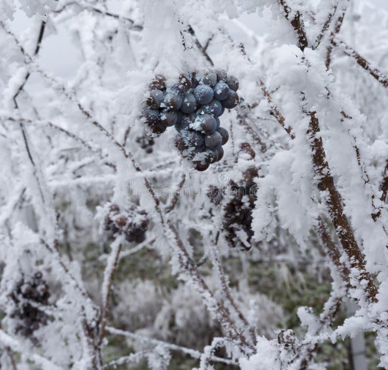 Vino congelato Grapes_ Baden Baden, Germania del ghiaccio fotografia stock libera da diritti