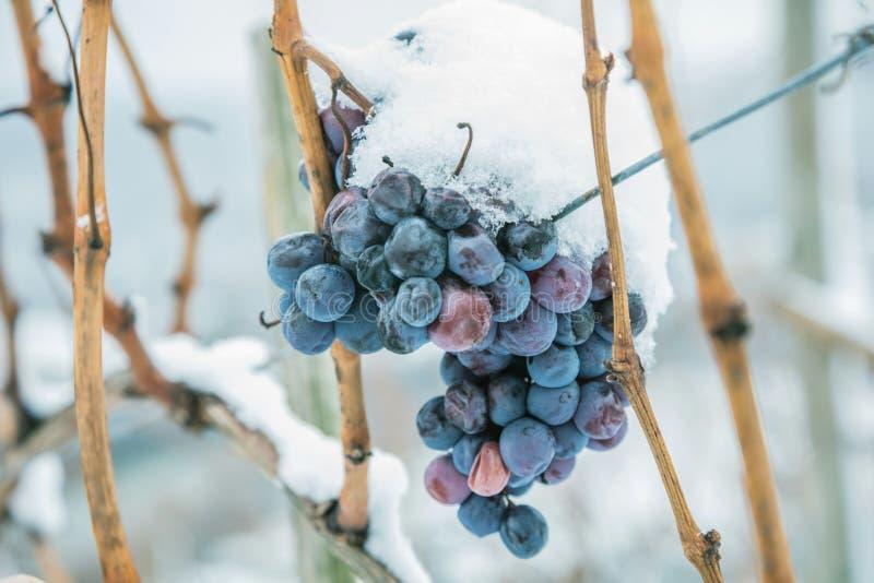 Vino del hielo Uvas rojas de vino para el vino del hielo en la condición y la nieve del invierno imagenes de archivo