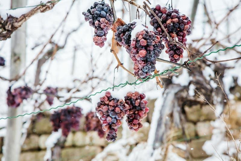Vino del hielo Uvas rojas de vino para el vino del hielo en la condición y la nieve del invierno foto de archivo libre de regalías
