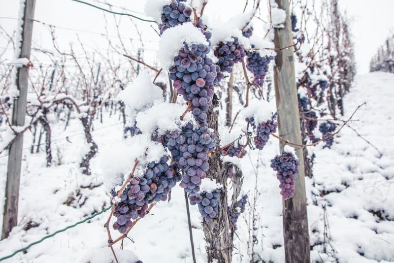 Vino del hielo Uvas rojas de vino para el vino del hielo en la condición y la nieve del invierno imágenes de archivo libres de regalías
