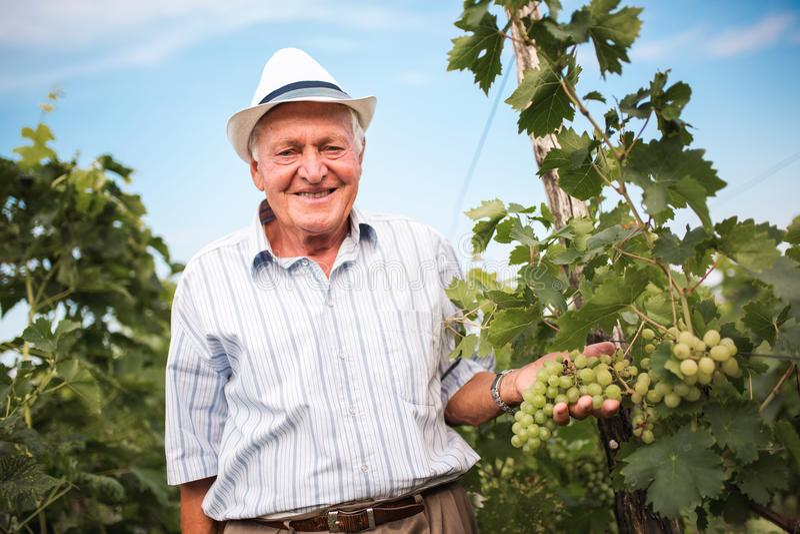 Vino-fabricante mayor que comprueba la calidad de uvas foto de archivo